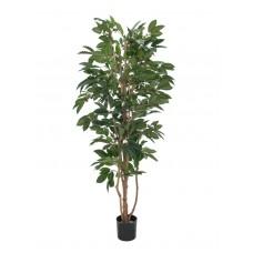 Kavos medis EUROPALMS Coffee tree, 210cm