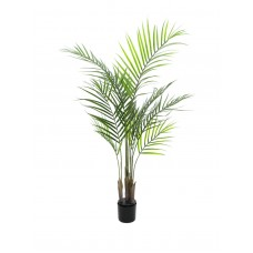 Arekos palmė su dideliais lapais EUROPALMS, 125cm