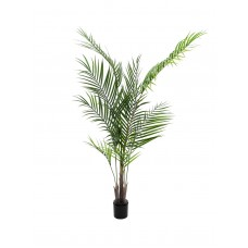 Areka palmė EUROPALMS, 165cm
